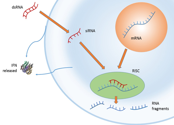 RNAi activiates destruction of mRNA