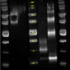 Reducing Western Blot of PBL's human cell-expressed Human IL-15 / sIL-15Ra Heterodimer (Cat. No. 11702) compared with HEK-expressed human IL-15 protein from Competitor A (Comp A) probed with anti-human IL-15Rα or anti-human IL-15 primary antibodies and Poly-HRP Steptavidin.